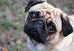 Focinho achatado: confira os cuidados especiais para cães e gatos