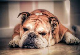 Saiba mais sobre Intertrigo em cães