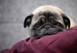 Impetigo: Conheça melhor essa doença que costuma atacar cães filhotes