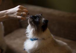 Como fazer petisco caseiro para gatos