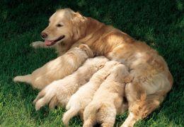 Saiba como funcionam os anticoncepcionais para cadelas,