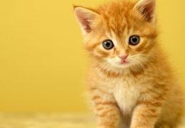 O que fazer antes de adotar um gato?