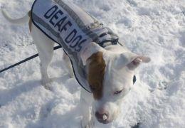 Cão surdo aprende língua de sinais