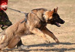 Por que não usar enforcadores em cães
