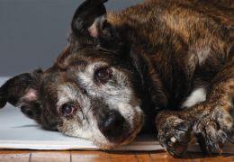 Saiba como fazer papinha para cachorros idosos