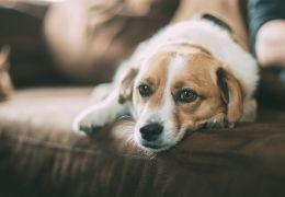 Casal é indenizado após morte do cachorro em hospedagem para pets na serra gaúch