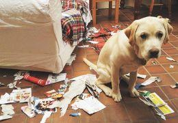 Aprenda truques para adestrar cães bagunceiros