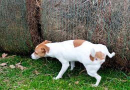 Entenda riscos e cuidados da incontinência urinária em cães