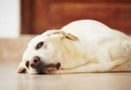 Saiba mais sobre o tratamento da leishmaniose visceral canina