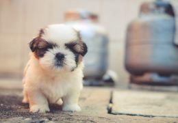 Saiba quando os filhotes de cachorros alcançam o ápice de fofura