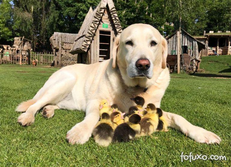Cachorro adota filhotes órfãos de patinhos