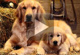 Cães são flagrados ajudando bebê para ganhar comida
