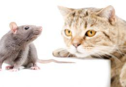 O que fazer quando um gato come um rato?