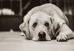 Saiba como identificar a depressão em cachorros
