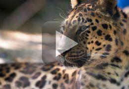 Cachorros enfrentam Leopardo e Leão na índia