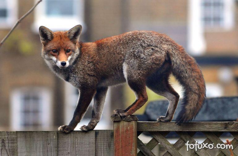 Gatos estariam sendo mortos por raposas em Londres