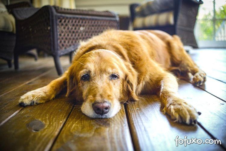 Saiba como identificar anemia em cachorros