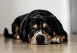 Dor crônica: Saiba identificar se o seu pet sofre
