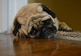 Saiba como os cachorros entendem nossos sentimentos