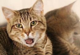 Gato ansioso e agressivo pode ser culta do tutor