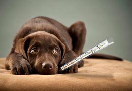 Saiba como identificar a febre em cachorros