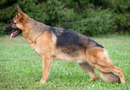 Como tratar displasia do quadril em cães