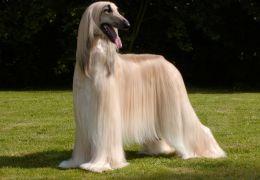 Conheça 5 raças de cachorro consideradas exóticas raras