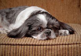 Cachorro saudável é sacrificado para ser sepultado junto com sua dona