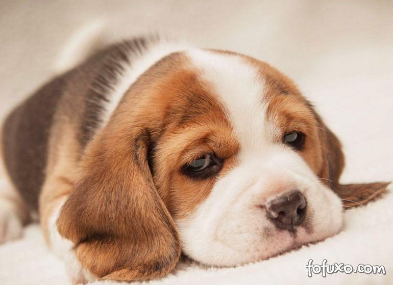 Dicas para identificar anemia em cães