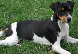 5 Opções de raças de cães mais baratas no Brasil