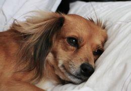 """Cachorros também """"ficam preocupados"""" com problemas do dia antes de dormir"""