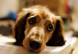 Cães aprenderam a levantar os olhos para chamar a atenção dos humanos