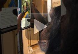 Vídeo de chimpanzé usando smartphone viraliza na internet