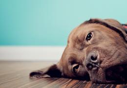 Problemas cardíacos: confira os principais sintomas em cachorros