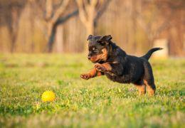5 dicas de brinquedos para filhotes de cachorros
