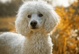 5 curiosidades sobre os poodles