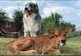 Cachorro se torna amigo de bezerro em santuário