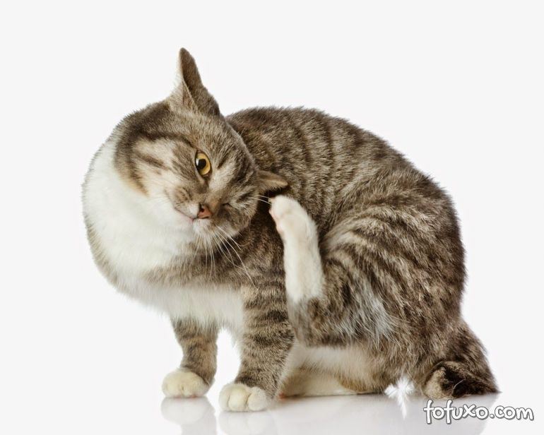 3 métodos caseiros para controlar as pulgas em gatos