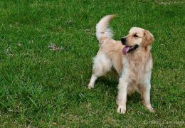 5 curiosidades sobre os rabos dos cachorros