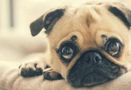 4 raças de cães que costumam roncar