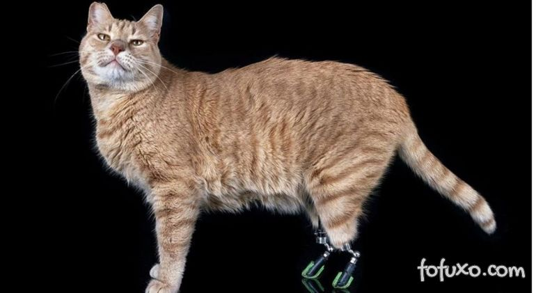 Gato com prótese nas pernas se torna sucesso nas redes sociais