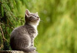 Miados de gatos podem ter sotaques diferentes