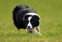Cadela mais cara do mundo é vendida por R$ 107 mil