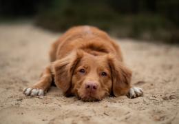 Por que os cachorros comem terra?