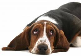 Conheça as 4 raças de cães mais expressivas com os olhos