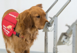 Cachorros estão sendo treinados para detectar coronavírus