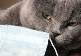 Novo estudo afirma que gatos podem transmitir Covid-19 para outros gatos