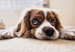 Confira algumas dicas para cortar o pelo do cão dentro de casa