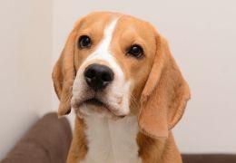 Por que não cortar as orelhas do meu cachorro?