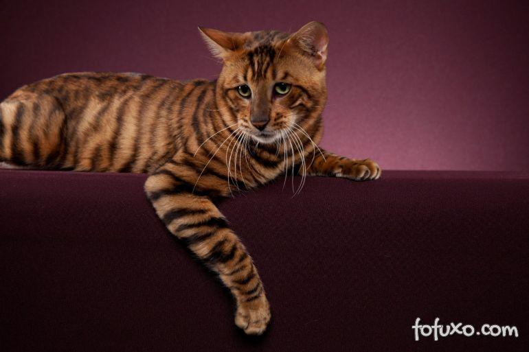 Conheça a nova, e polêmica, raça de gato: toyger